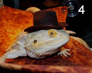 Lizards Wearing Hats 4